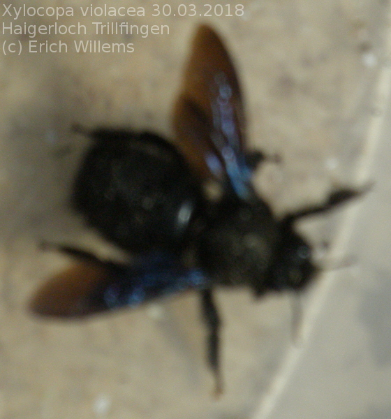 Xylocopa sp. 03.2018